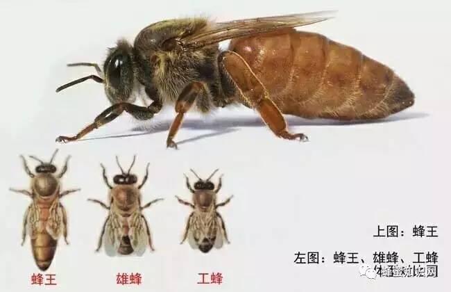 板栗蘸着蜂蜜 内分泌什么蜂蜜 美国惠宜蜂蜜 红烧肉加蜂蜜 买蜂蜜什么牌子好