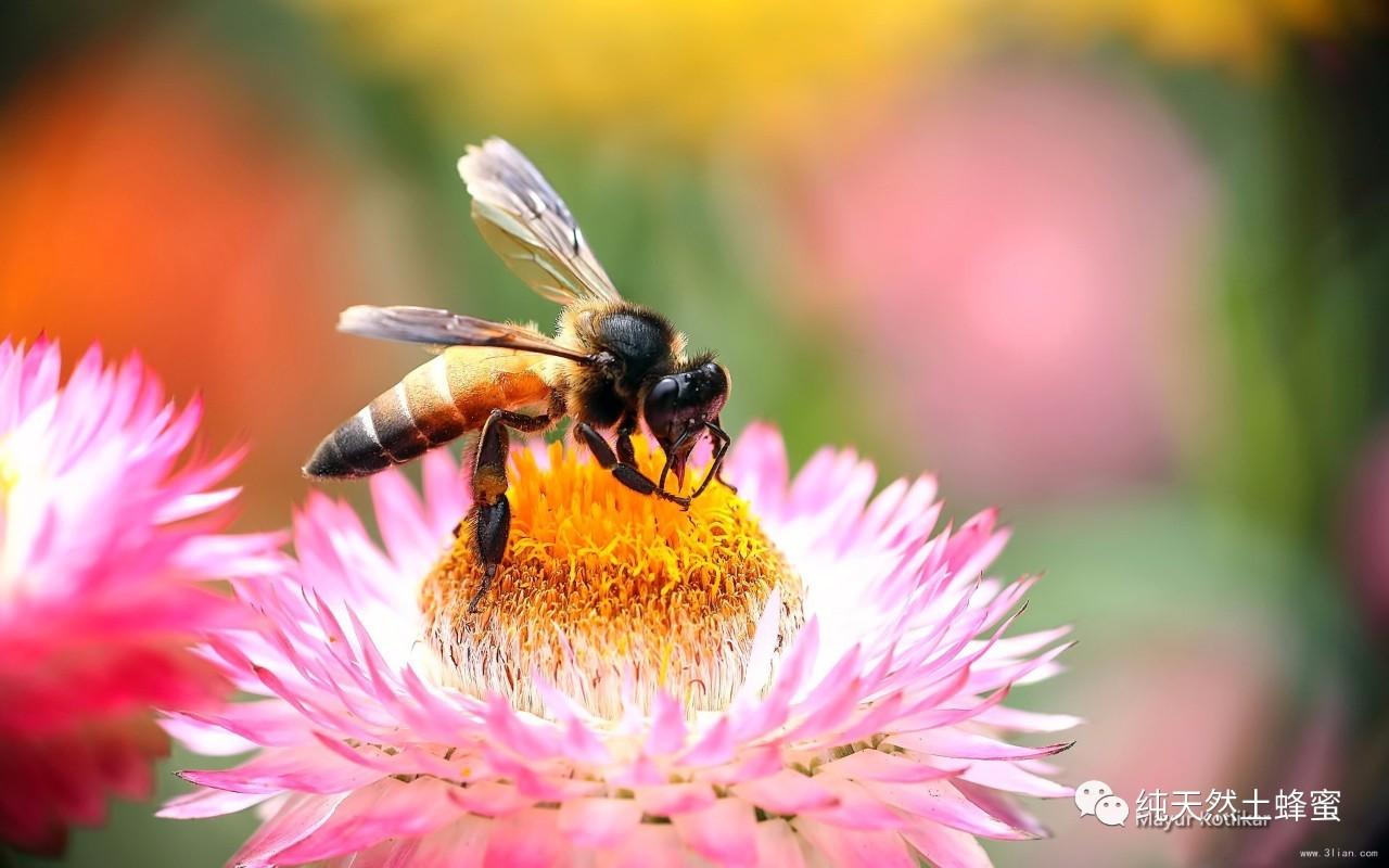 南澳蜂蜜 南岛三叶草蜂蜜疗效 麦卢卡蜂蜜咽喉炎 汇蜂堂洋槐蜂蜜 北京同仁堂的蜂蜜