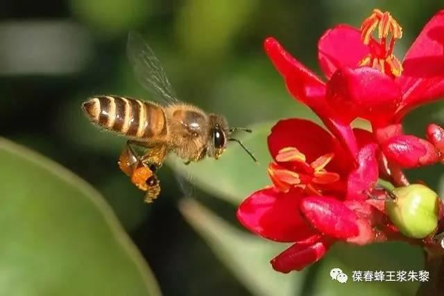 蜂蜜回味酸 喝哪种蜂蜜好 每天洗面奶蜂蜜洗脸 吃蜂蜜中毒怎么办 蜂蜜加花粉