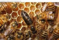 蜂王的人工育王方法