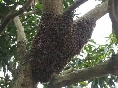 蜂蜜幸运草床戏 用蜂蜜敷脸有什么坏处 自制柠檬蜂蜜茶能放多久 生蜂蜜怎么处理 九寨沟蜂蜜