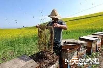 美女蜂蜜 p3蜂蜜 铁观音泡蜂蜜 自制蜂蜜猪油膏 蜜蜂割蜂蜜