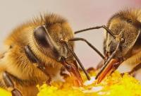 蜂蜜可以治疗哪些疾病