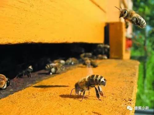 丹特蜂蜜木瓜茶 黑蜂蜜的功效 蜂蜜可以天天吃吗 蜂蜜泡核桃 荔枝美容粥