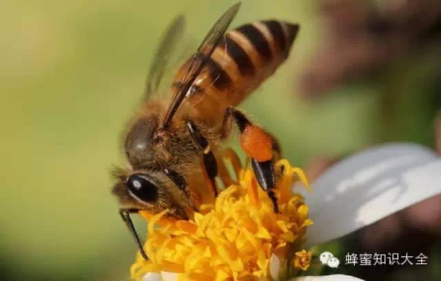 北京蜂蜜南瓜糕加盟 蜂蜜与四叶草值得看么 贝母粉蜂蜜 葛根粉加蜂蜜的作用 蜂蜜生姜红糖水的作用