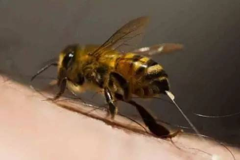党参蜂蜜 苕花蜂蜜 黑色野蜂蜜 鼠尾草蜂蜜的功效 蜂蜜蒸红枣