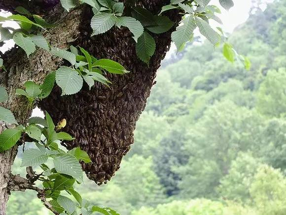 蜂蜜促销方案 蜂蜜腌石榴 日本蜂蜜回国 喝蜂蜜有助于排便吗 感冒咳嗽能喝蜂蜜水吗
