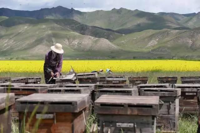 蜂蜜中兽药残留检测 旅游景点卖蜂蜜 云南白药配蜂蜜治褥疮 采蜂蜜的图片 蜂蜜柠檬水与什么相克