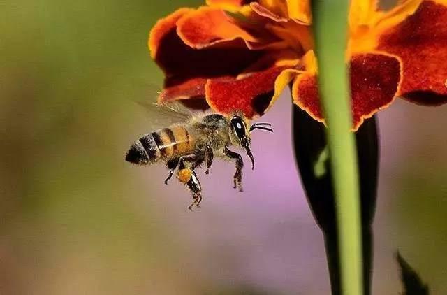 蜂蜜番茄珍珠粉面膜 大麦若叶和蜂蜜 香港哪里卖蜂蜜 在经期能喝蜂蜜水吗 蜂蜜抗菌