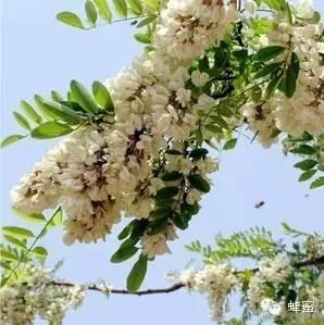 蜂蜜有药味吗 蜂蜜用冷水冲可以吗 土耳其ege蜂蜜 糖尿病与蜂蜜 药和蜂蜜能一起吃吗