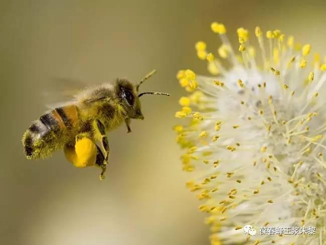 nectaflor蜂蜜 蜂蜜珍珠粉淡化嘴唇 螃蟹和蜂蜜同吃怎么办 蜂蜜司康 蜂蜜等级的划分