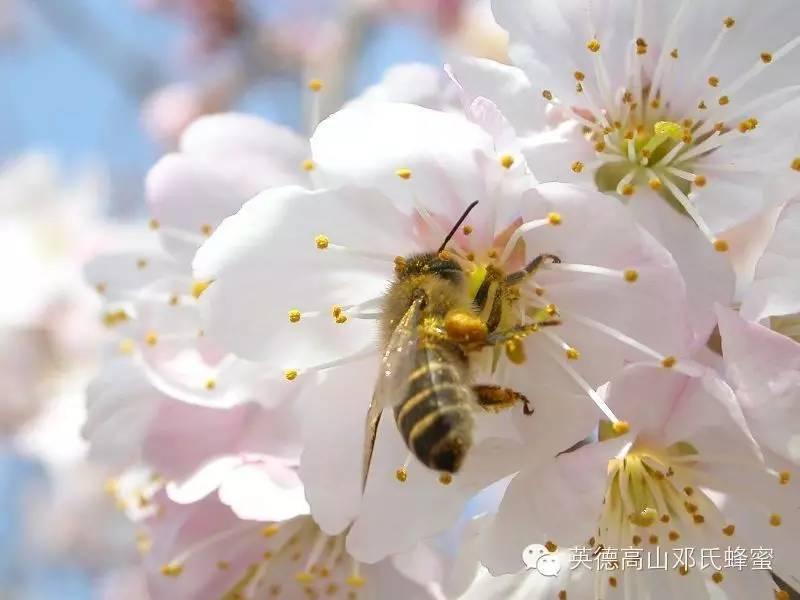 苹果拌蜂蜜 黄花菜加蜂蜜 田之味蜂蜜 蜂蜜消炎 白酒可以加蜂蜜吗