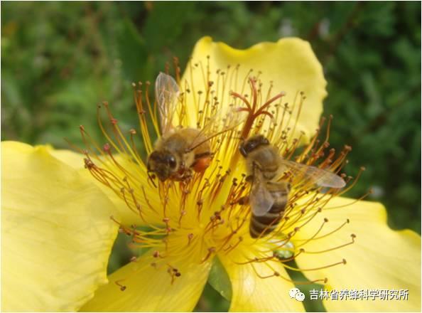 娃哈哈蜂蜜冰糖雪梨 蜂毒对身体有副作用吗 蜂蜜治胃胀 月季蜂蜜香水 蜂蜜有美白的作用吗