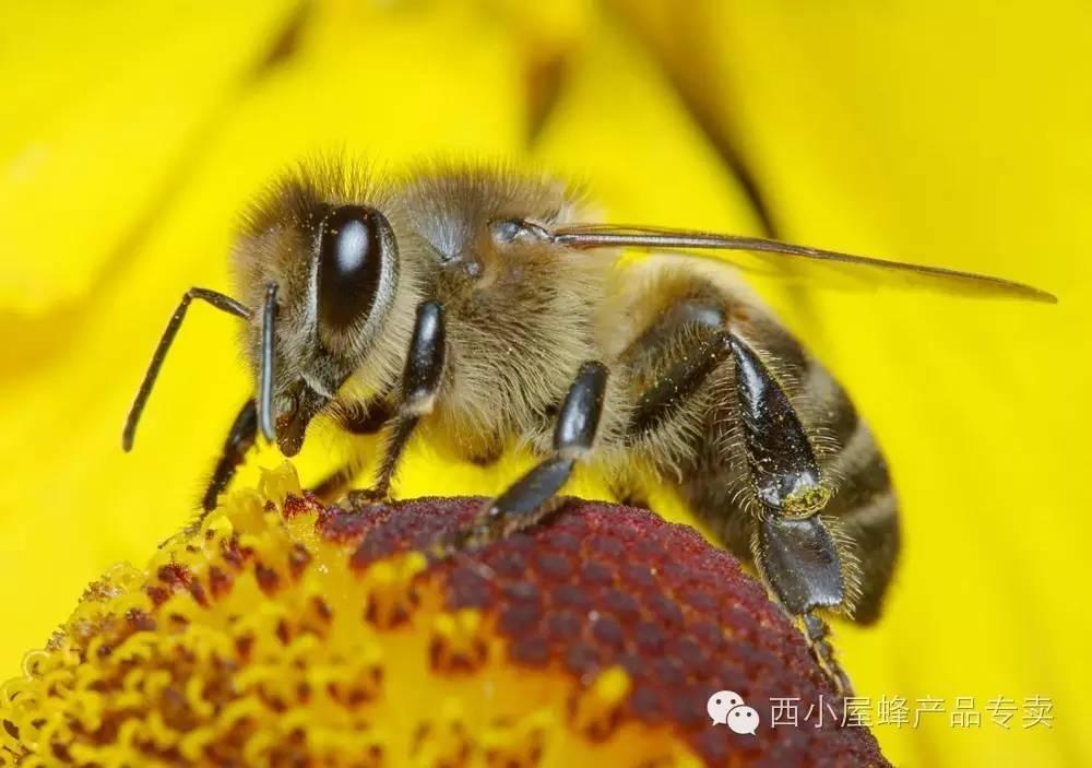蜂花粉,可以吃的美容剂!