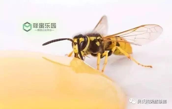 蜂蜜的蛋白质高吗 什么时候喝蜂蜜减肥 石柱蜂蜜 QS图标 蜂蜜和梨子煮水喝