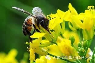 有机蜂蜜 中华蜂蜜 蜂蜜葱花 蜂蜜玫瑰 蜂蜜能解麻古不