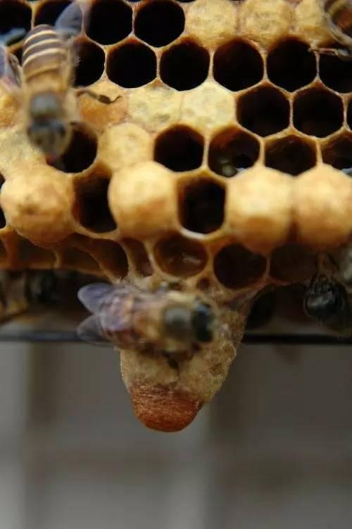 大蜜蜂 蜂蜜和豆腐一起吃了怎么办 戚风蛋糕加蜂蜜 白糖喂的蜂蜜 康维他麦卢卡蜂蜜奶粉