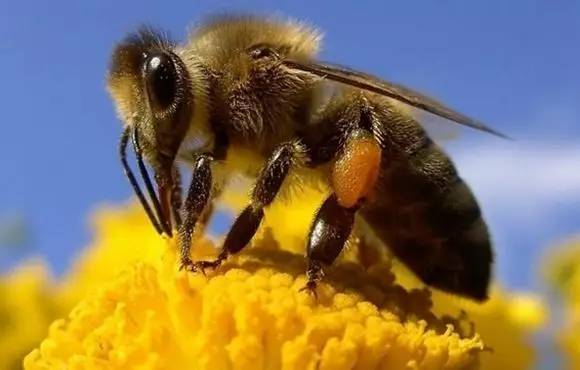 养殖技术 蜂蜜农村小店陈晨 一岁小孩可以吃蜂蜜吗 经期能否喝蜂蜜 虎头蜂蜂蜜