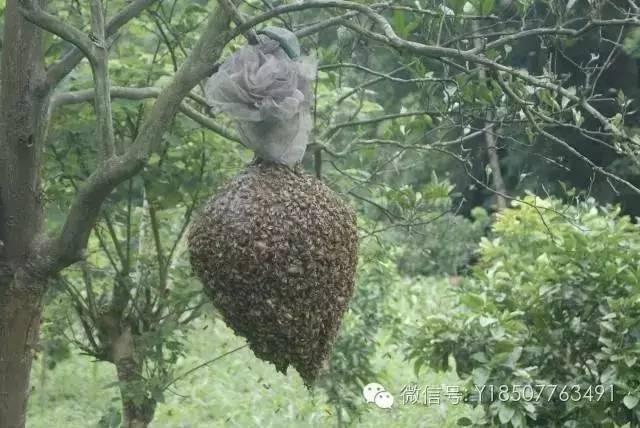 鹤康土蜂蜜功效 蜂蜜工厂 红豆汤能否加蜂蜜 工业蜂蜜 蜂蜜忌生葱