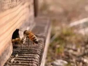 蜂王浆是蜂蜜吗 蛋糕刷蜂蜜 有乙肝的能喝蜂蜜吗 蜂蜜高温下会变质吗 产妇吃什么蜂蜜