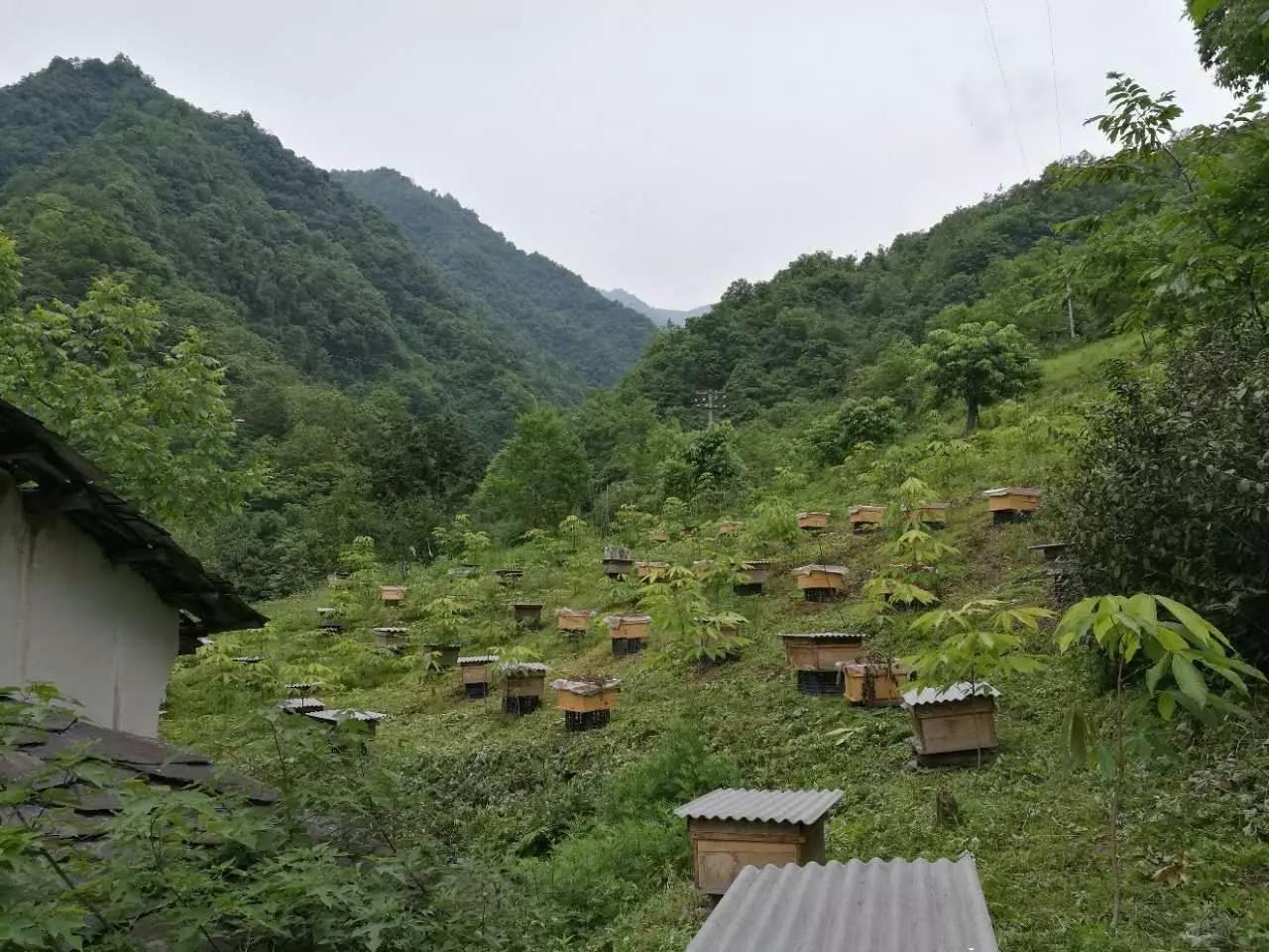 如何养殖中华蜜蜂 看不看在你了