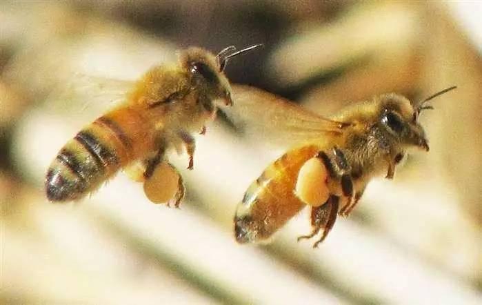 蜂蜜有营养吗 蜂蜜怎么吃好 蜂蜜的渣子 混合蜂蜜好吗 大蒜与蜂蜜煮水