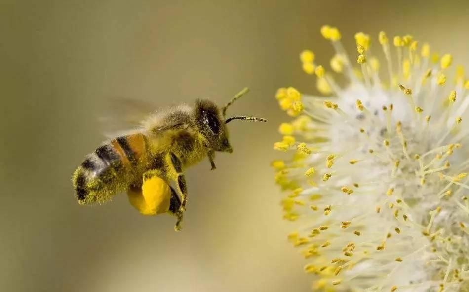 儿童可以喝蜂蜜吗 欧盟 蜂蜜加草莓淹做法 其他侵袭性昆虫 蜂蜜哮喘偏方