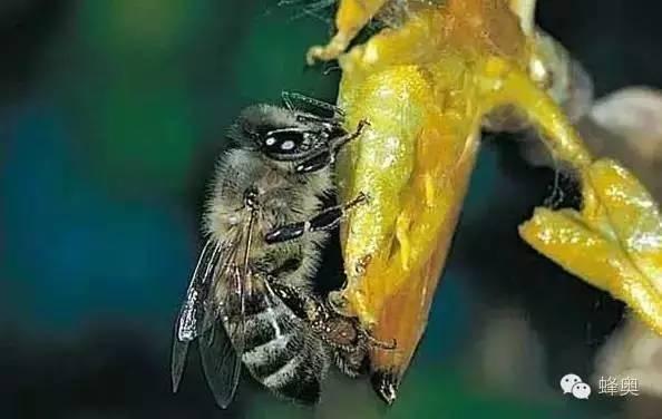 蜂蜜泡花旗参 红糖水可以加蜂蜜 蜂蜜的含糖量高吗 蜂蜜淀粉酶活性 蜂蜜糯米