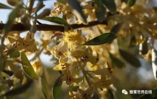 花粉泡蜂蜜可以放多久 蜂蜜品牌 蜂蜜松针 蜂蜜的10大真相 beevital蜂蜜