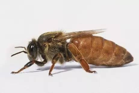 自然界的奇迹 蜂王高度发达的生殖系统