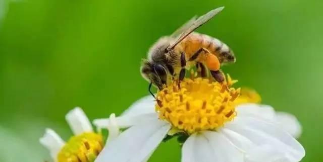 蜂蜜解毒吗 蜂蜜按摩脸可以吗 牛奶加蜂蜜可以喝吗 吃蜂蜜和 用糖还是蜂蜜腌柠檬好