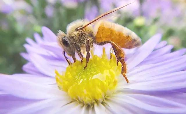 黄芪炖蜂蜜怎么炖 加拿大冰蜂蜜 柠檬蜂蜜泡酒 土蜂蜜广告词 鼠尾草蜂蜜的功效