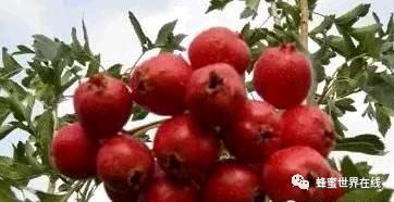云南白药胶囊蜂蜜 蜂蜜炸弹价格 最香甜的蜂蜜 蜂蜜面膜可以天天用吗 喝蜂蜜有助于顺产