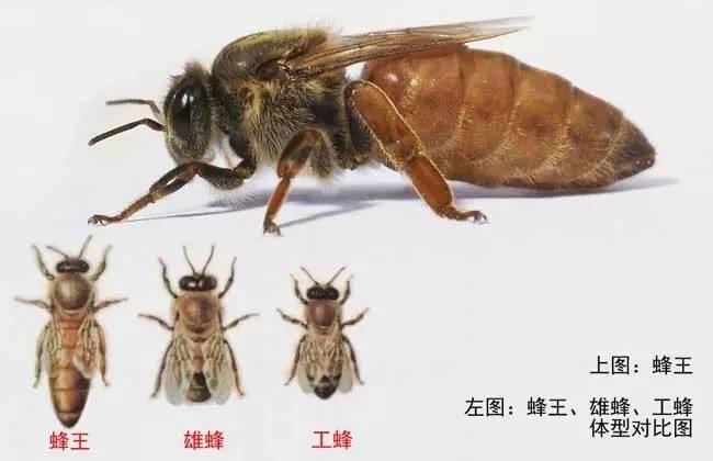 冬天女人喝蜂蜜 蜂蜜可以蒸鸡蛋吗 菲律宾的蜂蜜 蜂蜜糖花生 薄荷蜂蜜柠檬