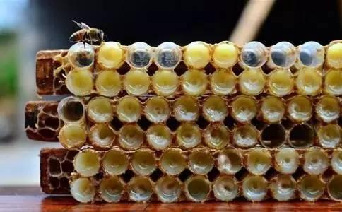 蜂蜜怎么卖 蜂蜜怎么用 鸡蛋蜂蜜脸刺痛 蜂蜜甩蜜桶 平盖灵芝枸杞蜂蜜