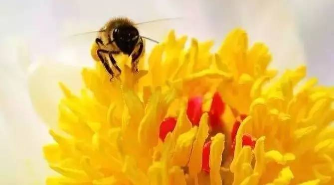 蜂蜜水减肥法有用吗 鹅蛋蒸蜂蜜的作用 喝蜂蜜水胃疼 进口蜂蜜的手续 蜂蜜与洋葱