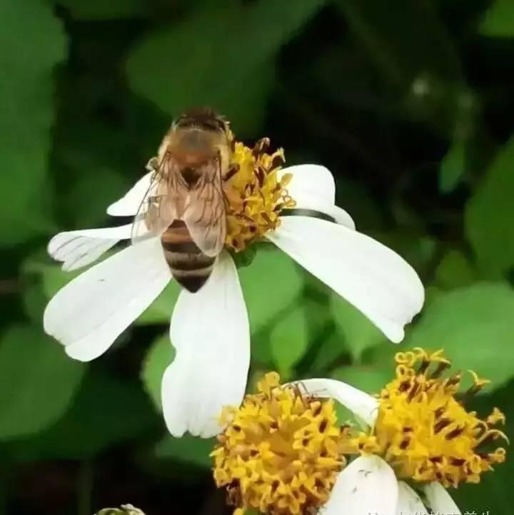 什么茶加蜂蜜减肥好 桔子与蜂蜜 金银花可以和蜂蜜一起泡吗 红酒蜂蜜珍珠粉面膜 玛卡和蜂蜜