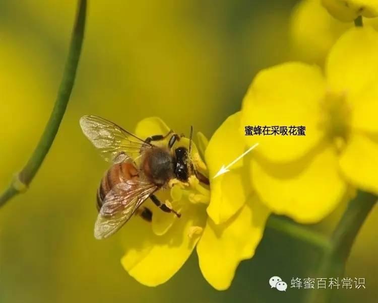 蜂蜜水糖 甩蜂蜜有子脾怎么办 蜂王浆和蜂蜜什么时候吃好 怎样制作假蜂蜜 十二指肠溃疡蜂蜜