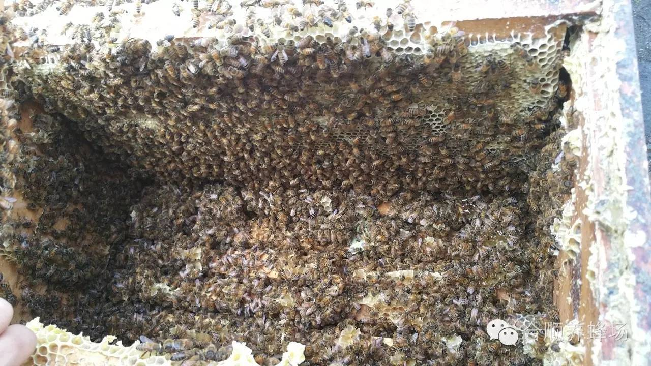 土蜂蜜价格 怎样检验纯蜂蜜 割蜂蜜 减肥期间喝蜂蜜水 蜂蜜对血糖高