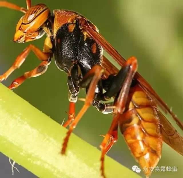 蜜蜂与黄蜂蜇伤处置有异同