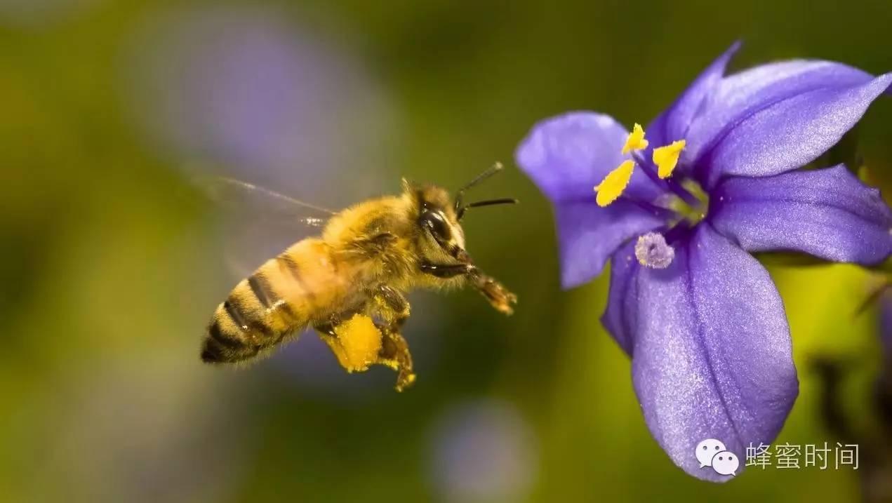 蜂花粉,浓缩的营养库,内服的化妆品!