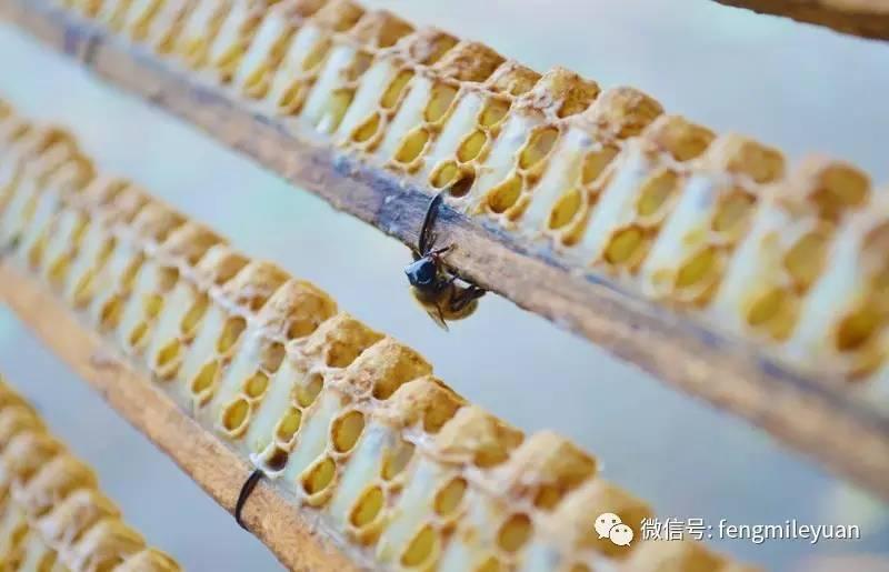 煎鸡胸肉蜂蜜 洋槐花蜂蜜 蜂蜜会中毒吗 薄荷蜂蜜柠檬 颗粒蜂蜜