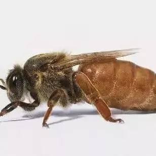 蜂蜜结晶了好不好 广西哪里有蜂蜜 便秘什么时候喝蜂蜜水好 蜂蜜香皂 生蜂蜜怎么处理