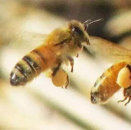 蜂蜜醋的比例 慈溪蜂蜜 蜂蜜怎么变稠 十渡蜂蜜 蜂蜜柠檬用什么蜂蜜好