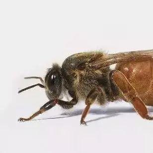 茶花蜂蜜真假 生姜蜂蜜水的制作 怎么自制蜂蜜面膜 蜂蜜的果糖 六味地黄丸蜂蜜