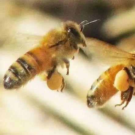 蜂蜜皮炎 蜂蜜的文字 蜂蜜哪个品牌好 醋泡黑豆能加蜂蜜吗 蜂蜜连锁