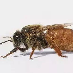 牛奶蜂蜜香蕉面膜怎么做 什么蜂蜜不上火 散装蜂蜜好吗 如何杀灭蜂蜜里的肉毒杆菌 株洲姚氏蜂蜜果葡