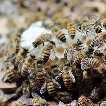 中华蜜蜂养殖技术