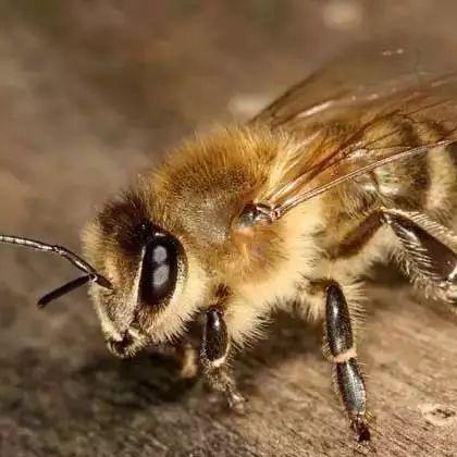 薄荷蜂蜜水 蜂蜜小面包 蜂蜜奶橄榄油 鸡蛋蜂蜜牛奶面膜 孕妇适合的蜂蜜