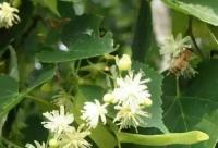 什么是椴树蜜?答案在这!